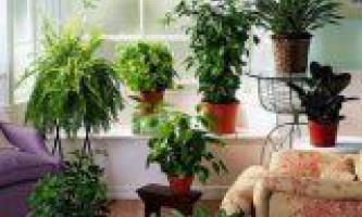 Домашні рослини для здоров`я сім`ї