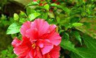 Гібіскус його корисні і лікувальні властивості
