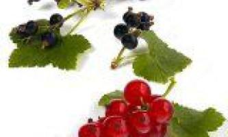 Корисні властивості червоної і чорної смородини