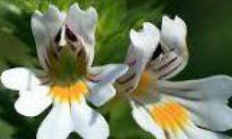 Трава очанки для лікування очних захворювань
