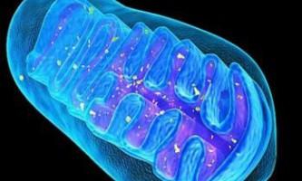 Вчені: видалення мітохондрій викликає процес омолодження