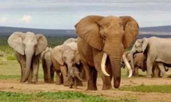Вчені з`ясували як слони обдурили рак