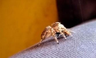 Укус павука і укус комара. Відмінності