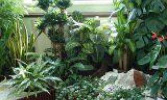Види кімнатних лікарських рослин